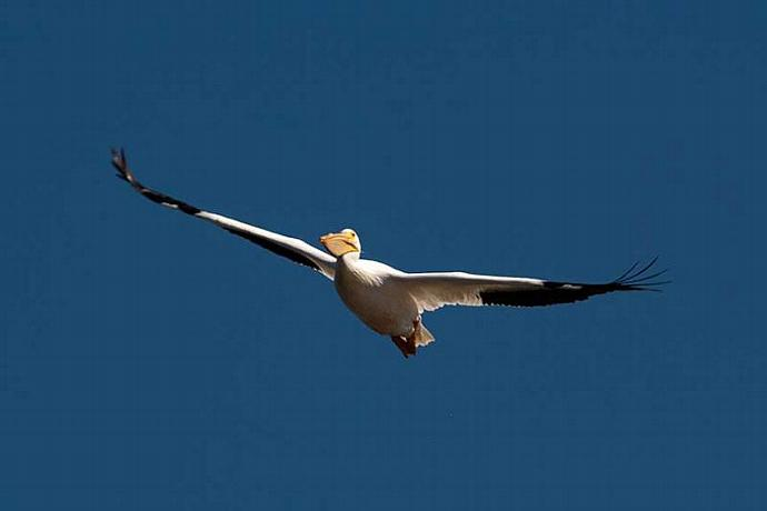 A Solitary White Pelican Flying Towards You Fine Art Photo