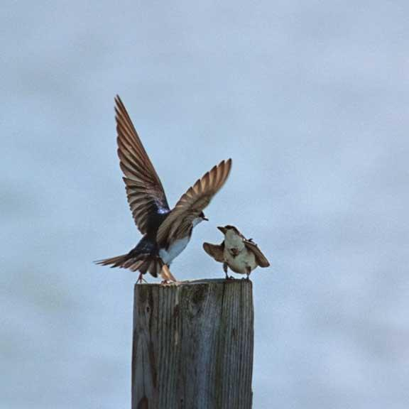 Bank Swallows During a Mating Ritual Fine Art Photo