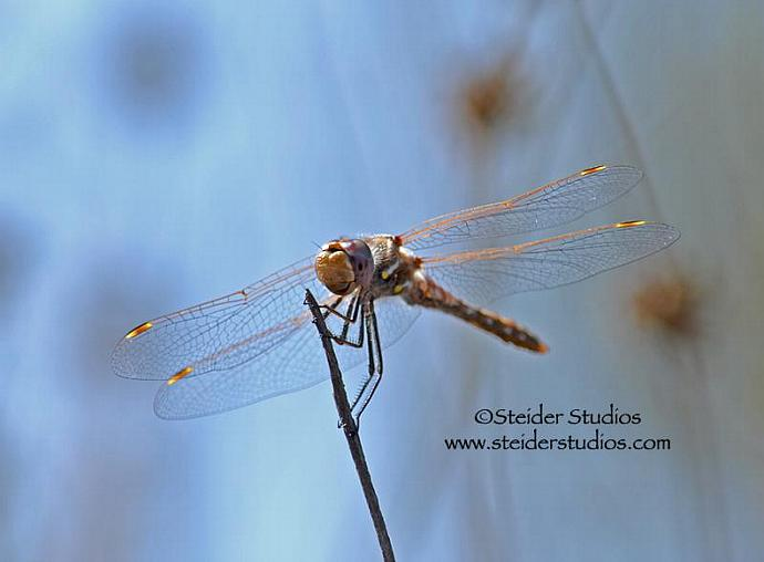 Blank Greeting Card Golden Dragonfly Image Against Blue Sky Art Photography