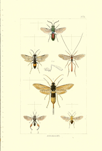 Bumbles, Bees, Wasps 1871 Victorian Insects Antique Engraved Chromolithograph,