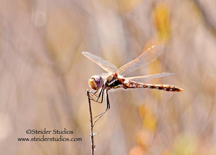 Macro Fine Art Photography, Coppery Dragonfly in Nature, Blank Greeting Card
