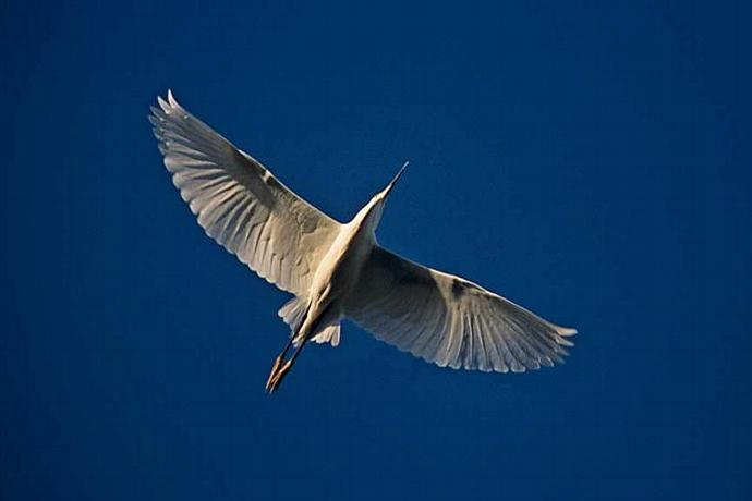 A Snowy Egret in Flight Showing the Symmetry of Nature
