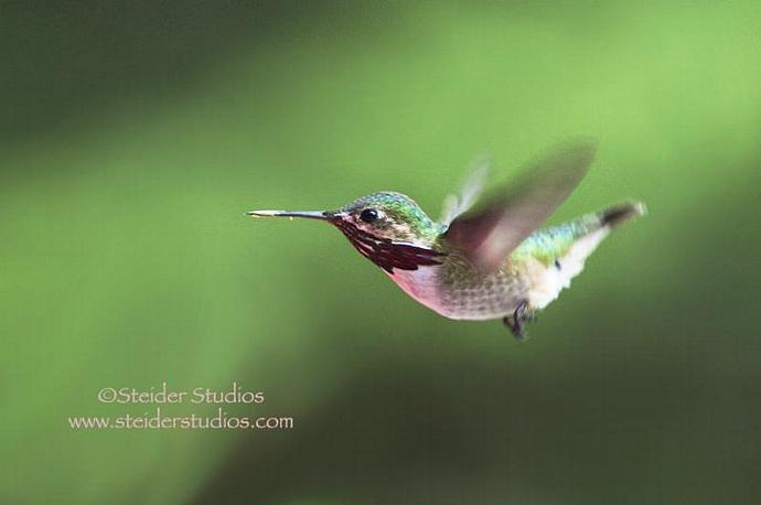 Fine Art Nature Photography, Blank Note Card, Calliope Hummingbird in Flight