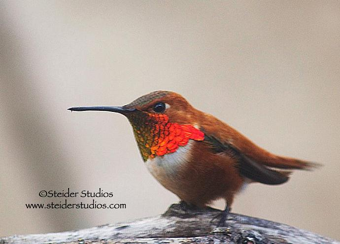 Fine Art Nature Photograph Blank Note Card Rufous Hummingbird Perched on Twig