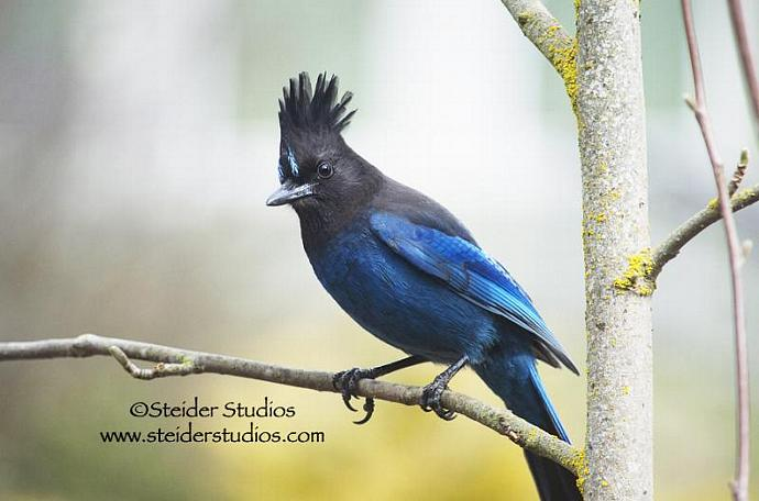 Fine Art Nature Photography, Blank Note Card, Blue and Black Stellers Jay