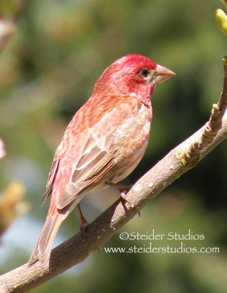 Nature Bird Photograph, Sunlit Red Finch All Occasion Greeting Card