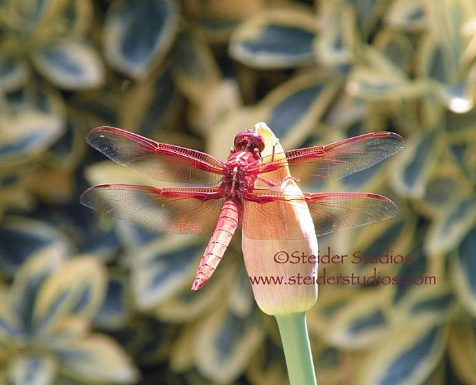 Macro Photograph of Red Dragonfly with Lacy Wings on All Occasion Greeting Card