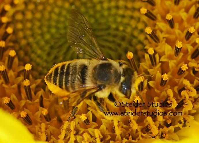 Macro Art Photograph of a Bumble Bee in Yellow Sunflower All Occasion Greeting