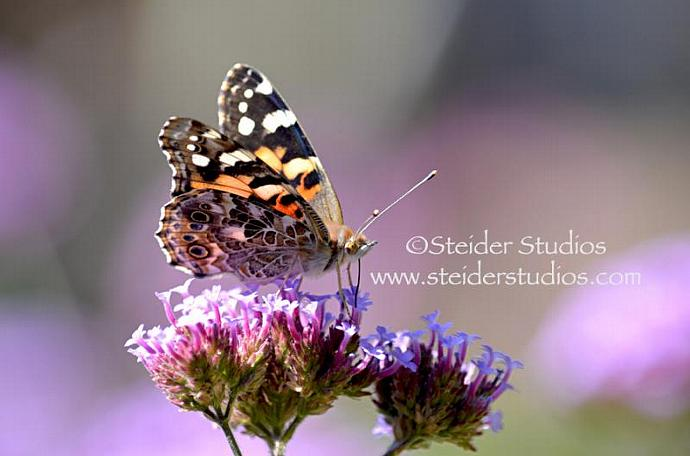 Fine Art Nature Photography Macro, Blank Note Card, Painted Lady Butterfly on
