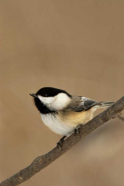 A Black Capped Chickadee With a Taupe Background Fine Art Photo
