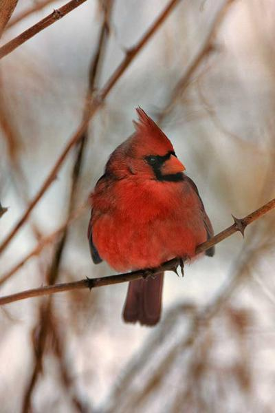 A Red Cardinal Puffed Up Winter Fine Art NaturePhoto