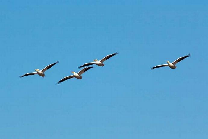 Fine Art Bird Photography of Four White Pelicans In Flight
