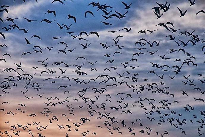 Hundreds of Seagulls in Flight Fine Art Nature Photo
