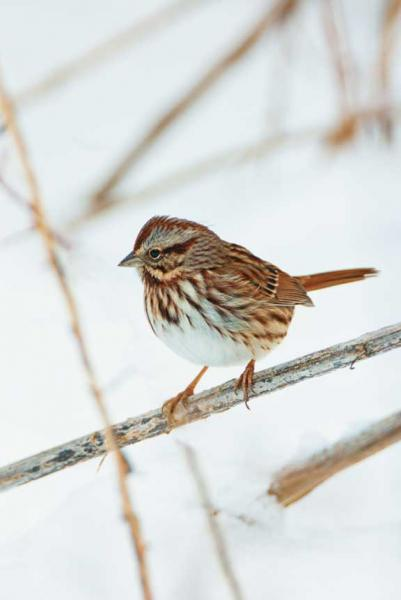 A Song Sparrow in a Winter Setting Fine Art Bird Photo