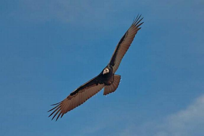 A Turkey Vulture Soaring Above the Blue Ridge Parkway Photo