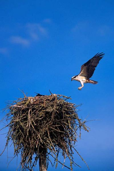 An Osprey Landing on its Nest fine Art Photo
