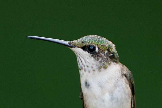 A Female Ruby-throated Humminbird Head Shot Fine Art Photo