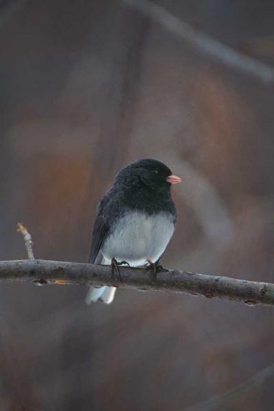 Dark-eyed Junco Fine Art Bird Photo