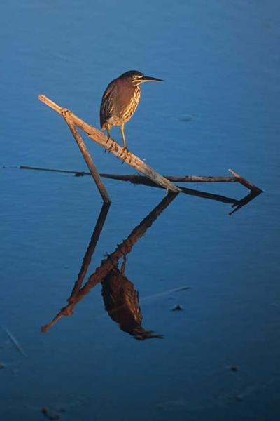 A Green Heron  Perches on a Reed Creating an Oriental Composition