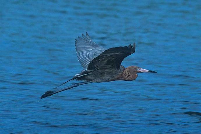 Reddish Egret in Flight Fine Art Photo