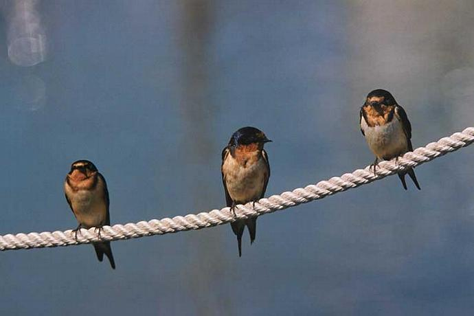 Three Barn Swallows Perched on a Dockline Photo
