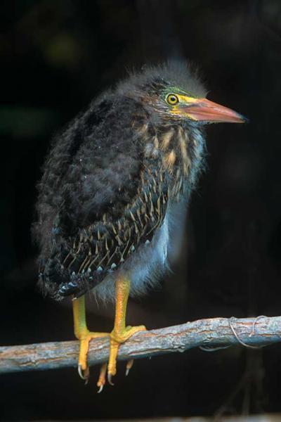 A Baby Green Heron Posing On A Branch Fine Art Photo Bird Art