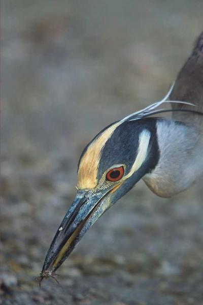A Yellow Crowned Night Heron Eating Small Crab Photo