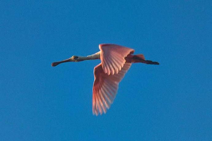 Roseate Spoonbill in Flight Fine Art Photo