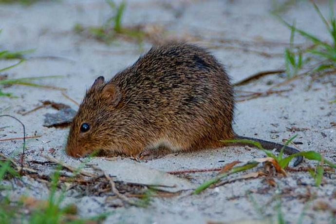 A Cotton Rat in the Sand Fine Art Photo