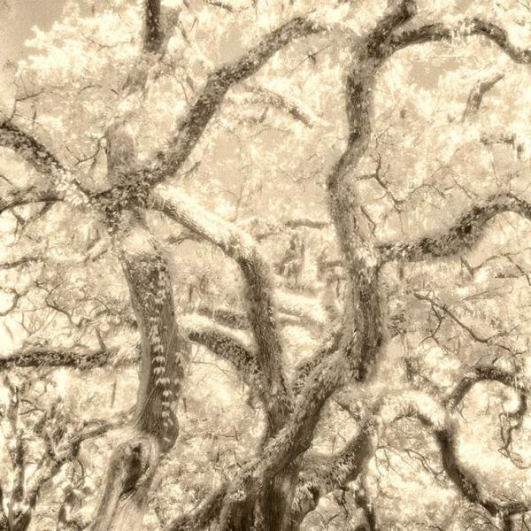 Infra Red Photo of Live Oaks With Resurection Ferns