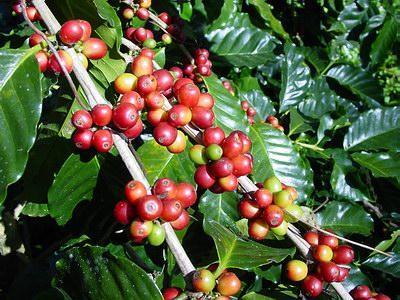 20 coffee tree seeds, coffea arabica, from Hilo, Hawaii