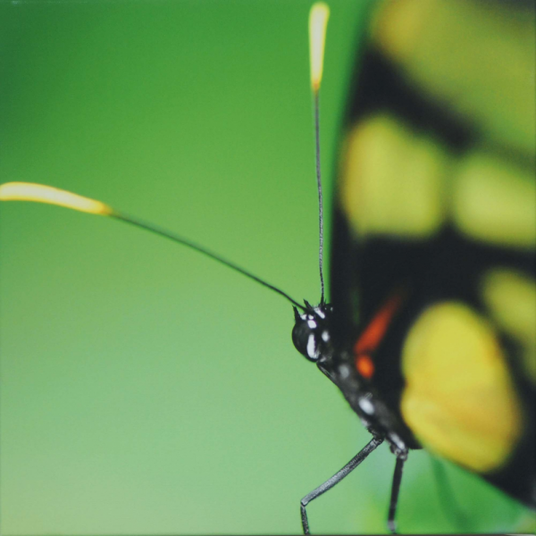 Yellow Butterfly 30x30cm Stretch Canvas Print