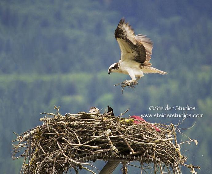 Nature Art Photograph, Blank Note Card, Osprey, Raptor Builds Nest
