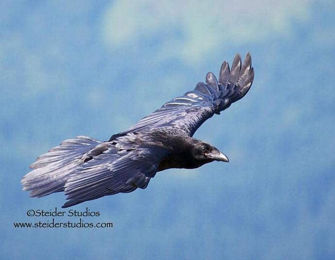 Art Photograph Blank Note Card Showing a Black Raven in Flight Against Blue Sky