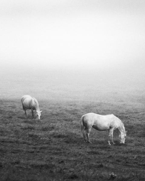 White Horses in the Fog Black and White Fine Art Photo