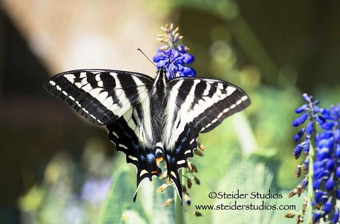 Nature Photography Tiger Swallowtail Butterfly All Occasion Greeting Card