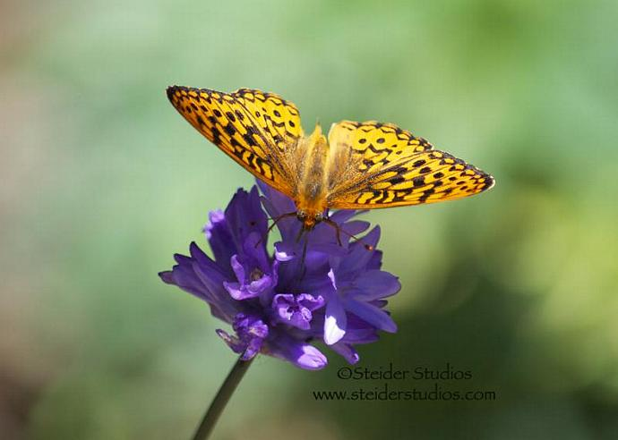 Art Photography Fritillary Butterfly on Purple Lily All Occasion Greeting Card