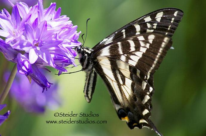Art Photography Swallowtail Butterfly on Wild Purple Lily Blank Greeting Card