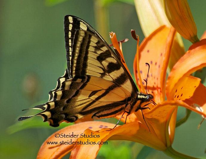 Nature Photograph of Tiger Swallowtail Butterfly on Orange Lily All Occasion