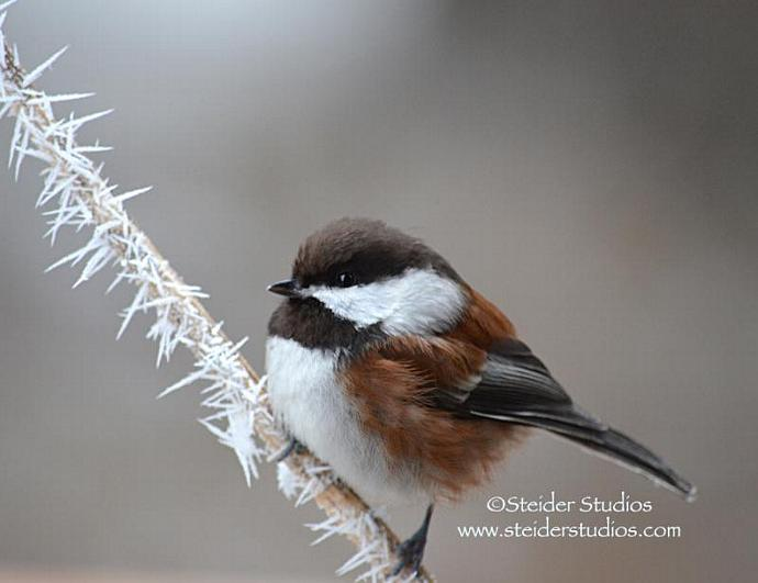 All Occasion Greeting Card Nature Photography, Little Chickadee on Hoarfrost