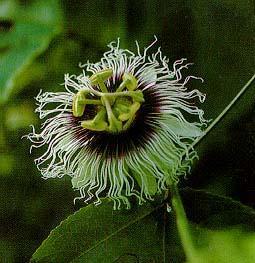 20 seeds of the passiflora edulis var flavicarpa, yellow lilikoi, from Hilo,