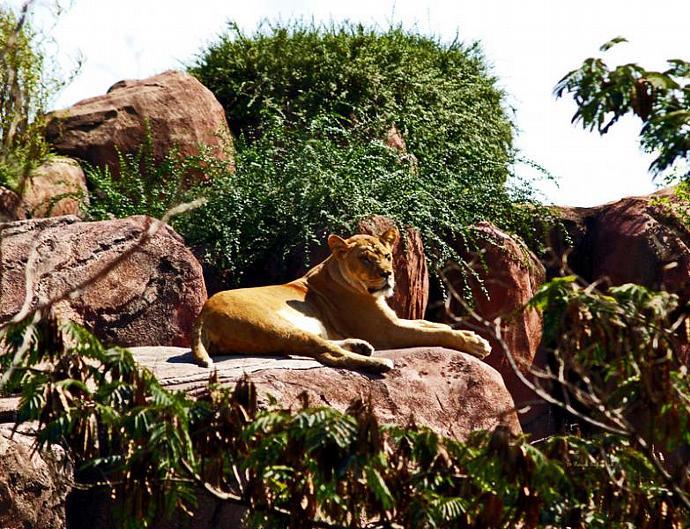 Lioness- fine art print- animal