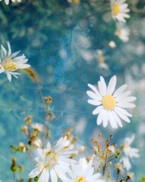 daisies.  8 x 10.  multiple exposure photograph.