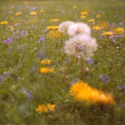 dandelion field.   8 x 10   .multiple exposure photograph.