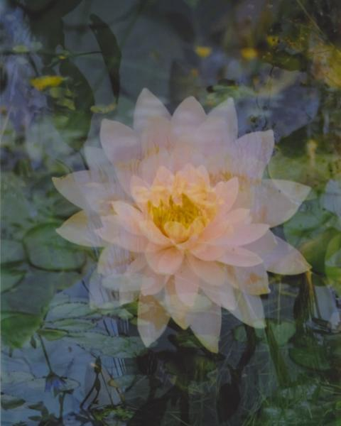 floating lotus.  8 x 10.  multiple exposure photograph.