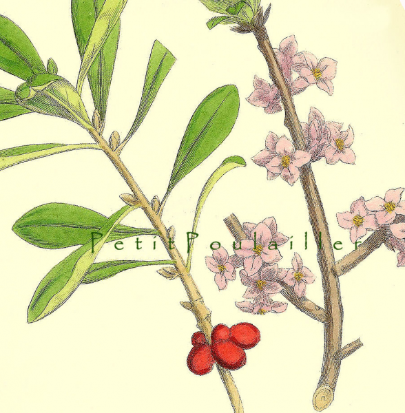 Chinaberry 1899 Victorian James Sowerby Antique Botanical Engraving, Pl 1246