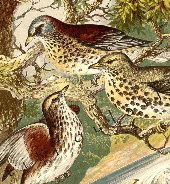 Thrushes 1874 Victorian Alexander Francis Lydon Natural History Engraved