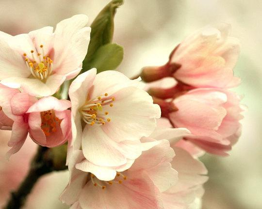 pink cherry blossom photography, flower by SeeLifeShine on Zibbet