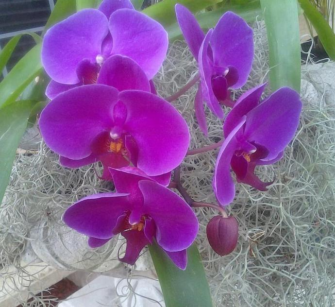 TREASURY ITEM - (50) Tillandsia  Air plants - Terrariums - Wedding favors