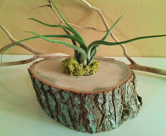Air plant terrarium in tree trunk with Caput medusae air plant and lime reindeer